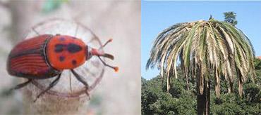 Lotta e contenimento del Punteruolo rosso delle palme